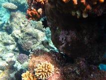 El filón coralino Imagen de archivo libre de regalías