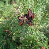 El firebug, apterus de Pyrrhocoris fotografía de archivo