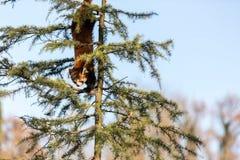 El firefox de la panda roja Fotografía de archivo libre de regalías