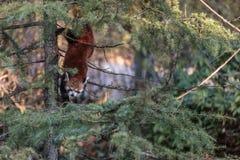 El firefox de la panda roja Imagen de archivo libre de regalías