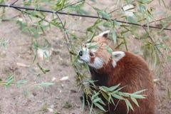 El firefox de la panda roja Foto de archivo libre de regalías