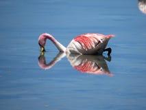 El flamenco rosado Fotos de archivo libres de regalías
