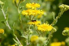 El fleabane común amarillo florece con una pequeña abeja Foto de archivo libre de regalías