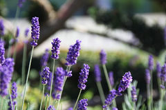 El flor azul florece en un campo brillante del verano Imagenes de archivo