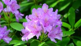 El flor coloreado lavanda rosa clara del rododendro en primer, sacudiéndose suavemente en la brisa almacen de metraje de vídeo