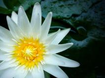 El flor de Lotus está floreciendo Imágenes de archivo libres de regalías