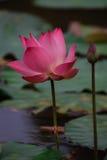 El flor de Lotus rosado Imagen de archivo