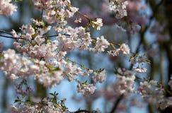 El flor de Sakura bajo luz caliente de la primavera Fotografía de archivo libre de regalías