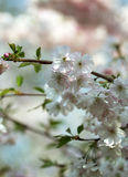 El flor de Sakura bajo luz caliente de la primavera Foto de archivo libre de regalías