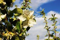 El flor de un manzano Foto de archivo libre de regalías