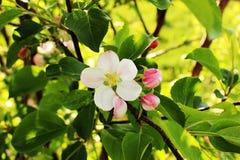 El flor de un manzano Imagenes de archivo