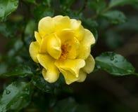 El flor de una rosa amarilla con agua cae Fotos de archivo