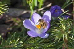 El flor del azafrán con sea primer Imagen de archivo
