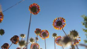 El flor florece las flores anaranjadas contra forma de vida la opinión de la naturaleza del cielo azul de debajo metrajes
