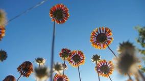 El flor florece las flores anaranjadas contra la forma de vida de la opinión de la naturaleza del cielo azul de debajo almacen de metraje de vídeo
