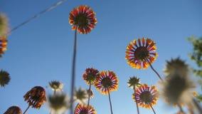 El flor florece las flores anaranjadas contra la opinión de la naturaleza del cielo azul de debajo forma de vida metrajes