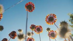 El flor florece las flores anaranjadas contra la opinión de la naturaleza del cielo azul de la forma de vida abajo metrajes