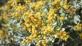 El flor hermoso del zarzo de la chinchilla del chinchillensis del acacia almacen de video