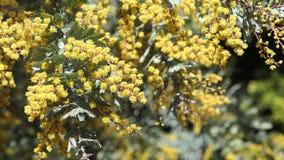 El flor hermoso del zarzo de la chinchilla del chinchillensis del acacia metrajes