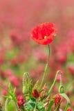 El flor rojo de la amapola entre el trébol del rec florece Fotografía de archivo