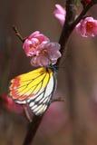 El flor rosado del ciruelo con la mariposa Fotografía de archivo