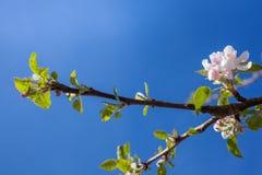 El flor rosado y blanco de la manzana florece con el fondo de ramas Fotografía de archivo