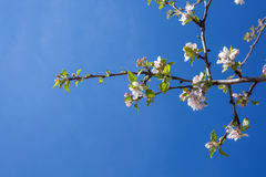 El flor rosado y blanco de la manzana florece con el fondo de ramas Imagen de archivo