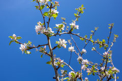 El flor rosado y blanco de la manzana florece con el fondo de ramas Fotos de archivo