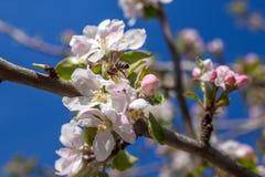 El flor rosado y blanco de la manzana florece con la abeja Imágenes de archivo libres de regalías