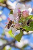 El flor rosado y blanco de la manzana florece con la abeja Foto de archivo