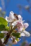 El flor rosado y blanco de la manzana florece con la abeja Fotografía de archivo