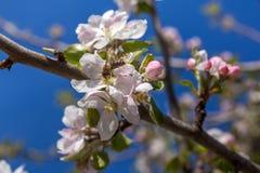 El flor rosado y blanco de la manzana florece con la abeja Imagenes de archivo