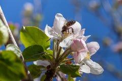 El flor rosado y blanco de la manzana florece con la abeja Fotografía de archivo libre de regalías