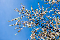 El florecimiento de la primavera Fotos de archivo libres de regalías