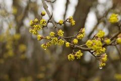El florecimiento de la ramita del árbol comienza con las flores amarillas Fotos de archivo