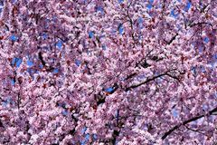 el florecimiento rosado del árbol en primavera imágenes de archivo libres de regalías