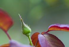 El florecimiento subió Fotografía de archivo libre de regalías