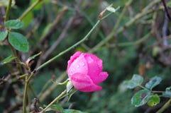 El florecimiento subió con descensos del rocío Brote revelador fotos de archivo libres de regalías