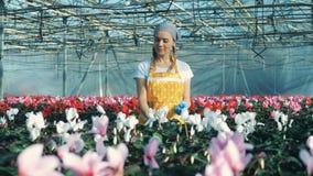 El florista profesional toma a cuidado del ciclamen, comprobándolo en un pote almacen de video