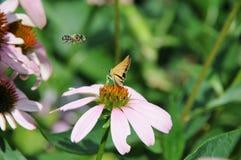 El flotador como una mariposa, Sting del ` le gusta una abeja ` Foto de archivo
