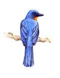 El Flycatcher azul de Tickell Fotos de archivo libres de regalías