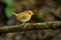 Flycatcher de Rufours Browef. Imagenes de archivo
