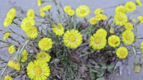 El foalfoot amarillo brillante florece farfara del tussilago en piso pedregoso Grupo de flores de la primavera almacen de metraje de vídeo