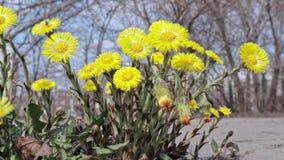 El foalfoot amarillo brillante florece farfara del tussilago en piso pedregoso Grupo de flores de la primavera y de tráfico urban almacen de video