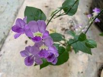El foco de la flor hermosa como fondo natural, flor violeta o púrpura y hojas fotografía de archivo