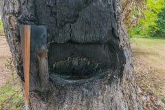 El foco suave de la práctica cómo a la extracción del aceite de la textura de madera de la corteza del ` s de Yang Thai del árbol fotografía de archivo libre de regalías