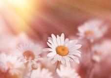 El foco suave en la flor de la margarita se encendió por los rayos de sol Foto de archivo
