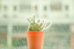 El foco suave y el tono retro para un cactus nombran los microdasys de la Opuntia (ángel-alas, cactus de los oídos del conejito,  Fotos de archivo libres de regalías