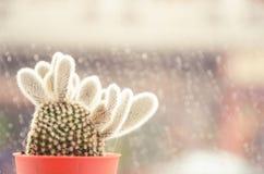 El foco suave y el tono retro para un cactus nombran los microdasys de la Opuntia (ángel-alas, cactus de los oídos del conejito,  Imagen de archivo