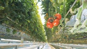 El foco video se está moviendo al revés y sigue siendo fijo en un racimo de tomates maduros almacen de metraje de vídeo